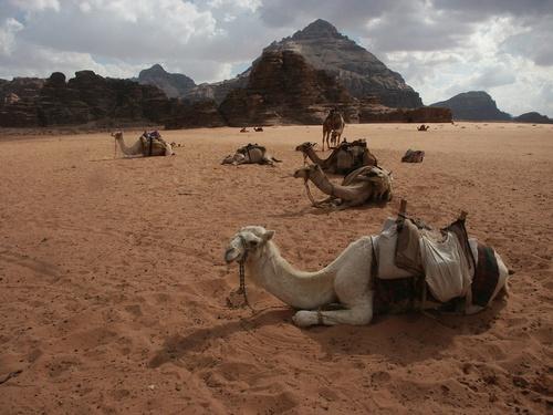 Camels_inWadi-Rum